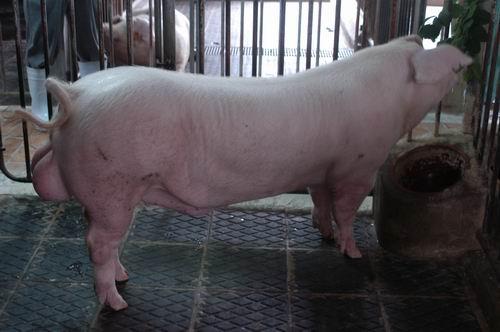 中央畜產會200604期L0026-05體型-全身相片