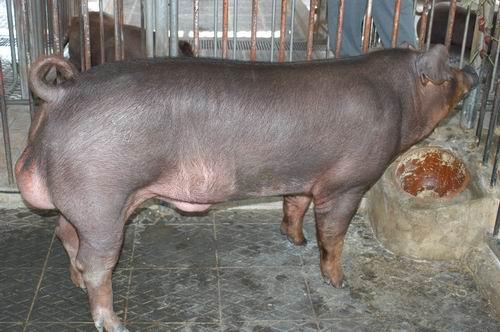 中央畜產會200605期D1071-01體型-全身相片
