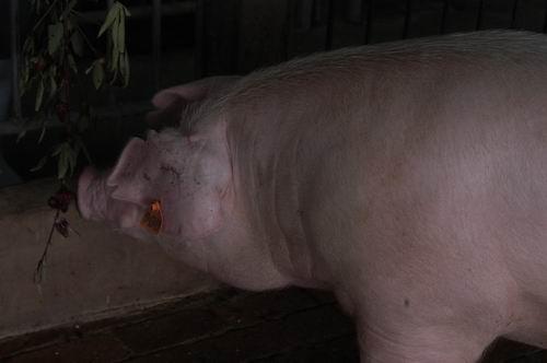 中央畜產會200605期L0022-04體型-頭頸相片