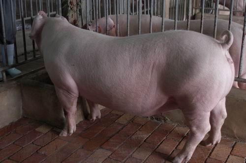 中央畜產會200605期L0022-15體型-全身相片
