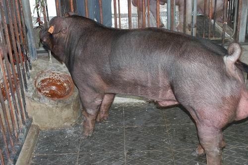 中央畜產會200605期D1336-05體型-全身相片