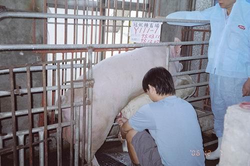 台灣種豬發展協會9508期Y0111-01拍賣照片