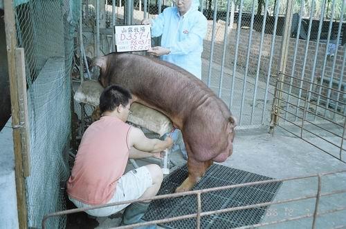 台灣種豬發展協會9508期D0357-01拍賣照片