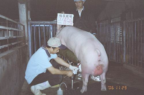 台灣種豬發展協會9508期Y0187-02拍賣照片