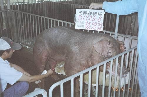 台灣種豬發展協會9508期D1725-08拍賣照片
