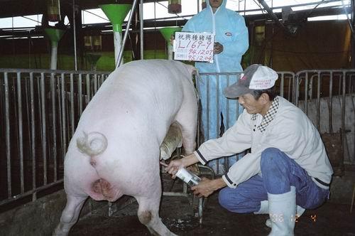 台灣種豬發展協會9508期L0169-09拍賣照片