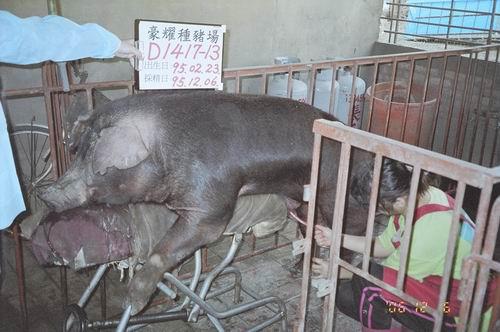 台灣種豬發展協會9508期D1417-13拍賣照片