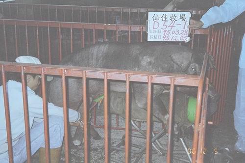 台灣種豬發展協會9508期D0054-01拍賣照片