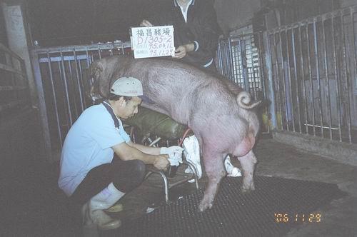 台灣種豬發展協會9508期D1305-02拍賣照片