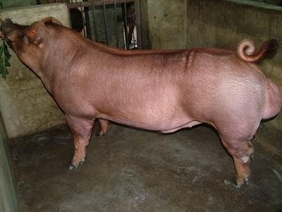 台灣動物科技研究所竹南檢定站9503期D0303-01種公豬拍賣相片