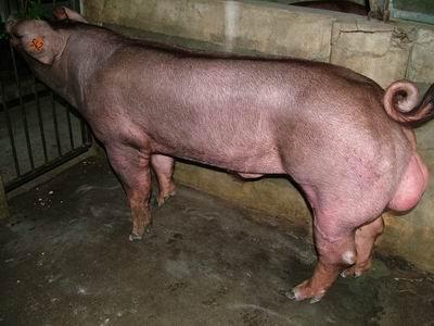 台灣動物科技研究所竹南檢定站9503期D0301-03種公豬拍賣相片