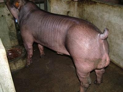 台灣動物科技研究所竹南檢定站9503期D1018-03種公豬拍賣相片