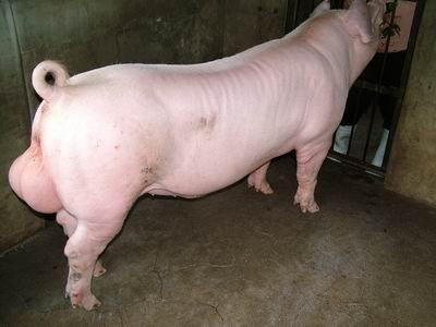 台灣動物科技研究所竹南檢定站9503期L0340-03種公豬拍賣相片
