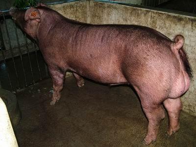 台灣動物科技研究所竹南檢定站9504期D1324-03種公豬拍賣相片