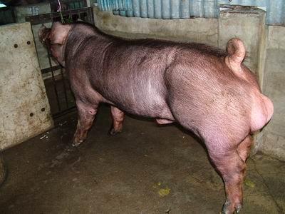 台灣動物科技研究所竹南檢定站9504期D1872-13種公豬拍賣相片