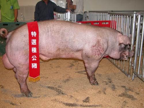 台灣種豬發展協會9508期D1117-01拍賣照片(高價豬)