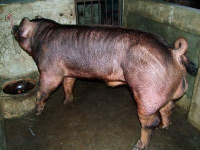 台灣動物科技研究所竹南檢定站9505期D1768-07種公豬拍賣相片