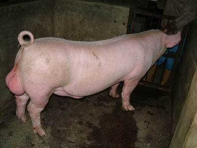 台灣動物科技研究所竹南檢定站9505期L0950-06種公豬拍賣相片