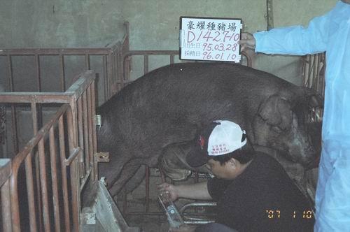 台灣種豬發展協會9601期D1427-10採精相片