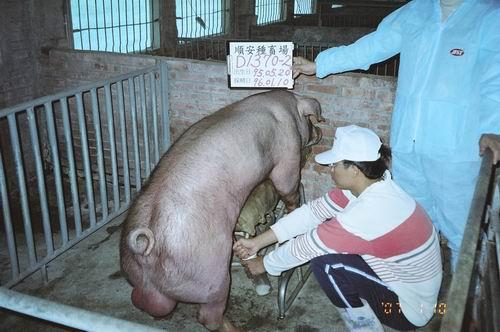 台灣種豬發展協會9601期D1370-02採精相片