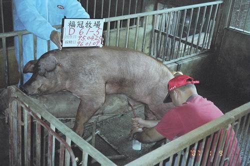 台灣種豬發展協會9601期D0061-05採精相片