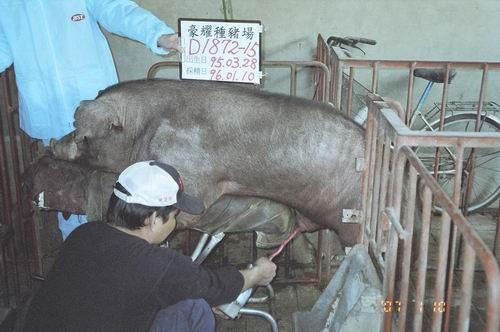 台灣種豬發展協會9601期D1872-15採精相片