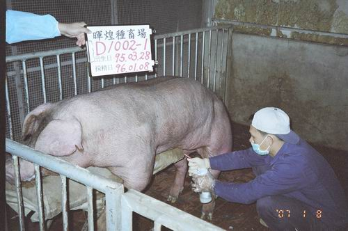 台灣種豬發展協會9601期D1002-01採精相片