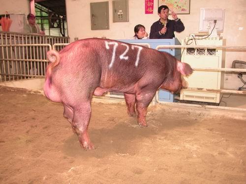 台灣動物科技研究所竹南檢定站95-05期D1029-01種公豬拍賣相片(高價豬)
