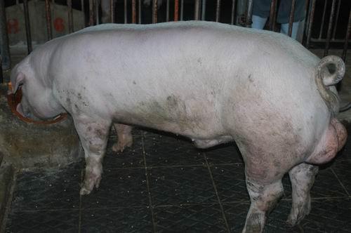 中央畜產會200607期L1353-13體型-全身相片