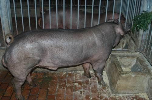 中央畜產會200607期D0169-06體型-全身相片