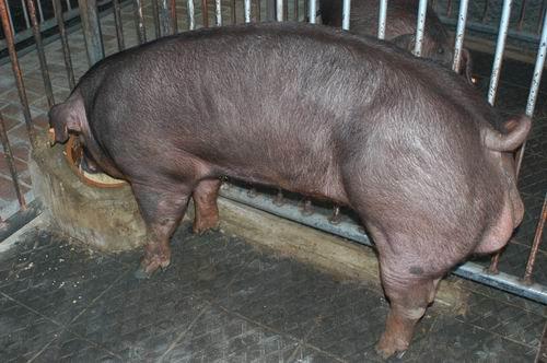 中央畜產會200607期D1429-01體型-全身相片