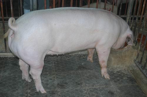 中央畜產會200607期L1352-03體型-全身相片