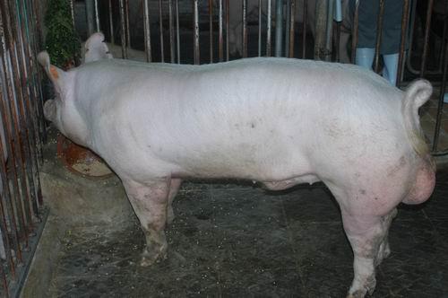 中央畜產會200607期Y0996-01體型-全身相片