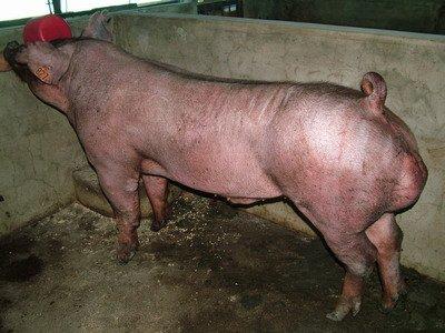 台灣動物科技研究所竹南檢定站9506期D1380-04種公豬拍賣相片