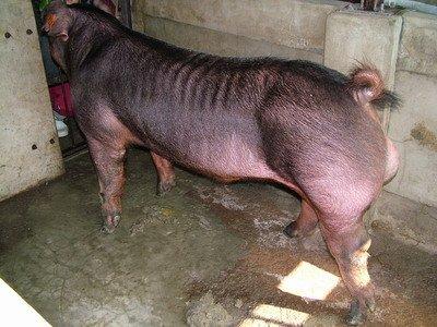 台灣動物科技研究所竹南檢定站9506期D1781-06種公豬拍賣相片