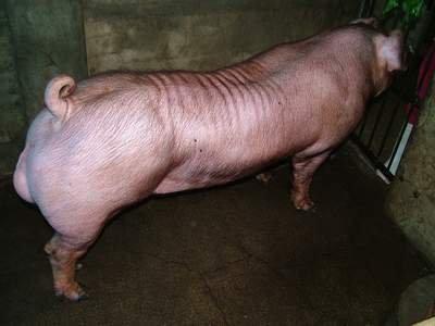 台灣動物科技研究所竹南檢定站9506期D1381-03種公豬拍賣相片