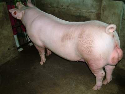 台灣動物科技研究所竹南檢定站9506期L0612-04種公豬拍賣相片