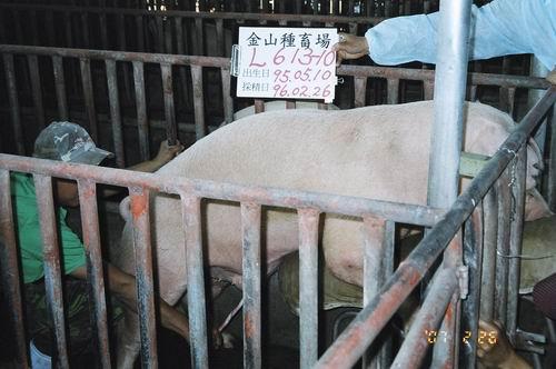 台灣種豬發展協會9602期L0613-10採精相片