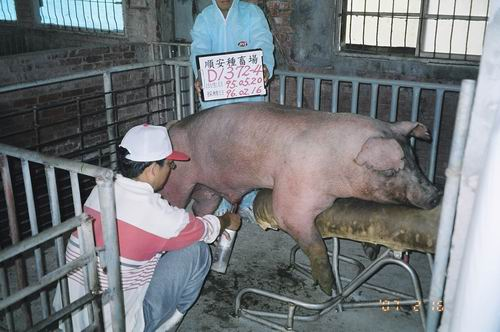 台灣種豬發展協會9602期D1372-04採精相片