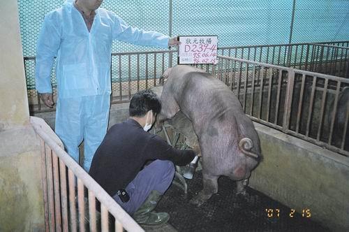 台灣種豬發展協會9602期D0239-04採精相片