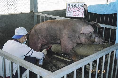 台灣種豬發展協會9602期D1045-01採精相片