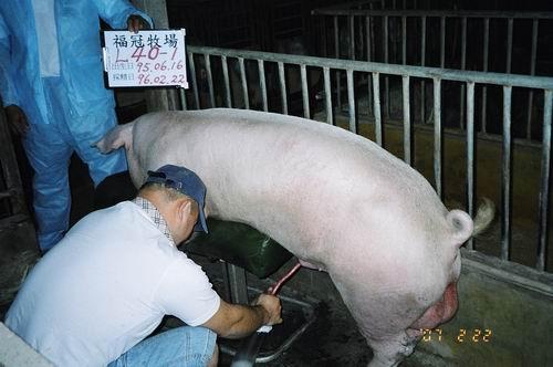 台灣種豬發展協會9602期L0040-01採精相片