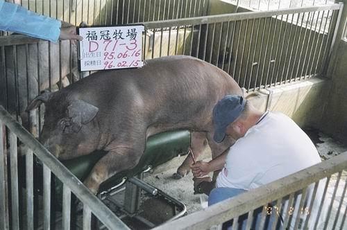 台灣種豬發展協會9602期D0071-03採精相片