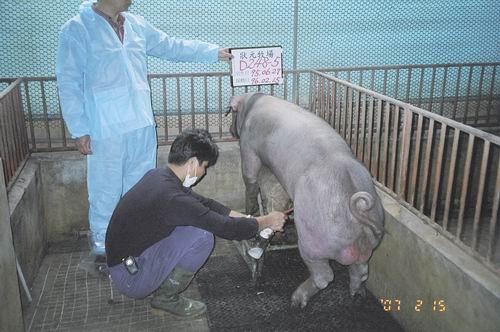 台灣種豬發展協會9602期D0248-05採精相片