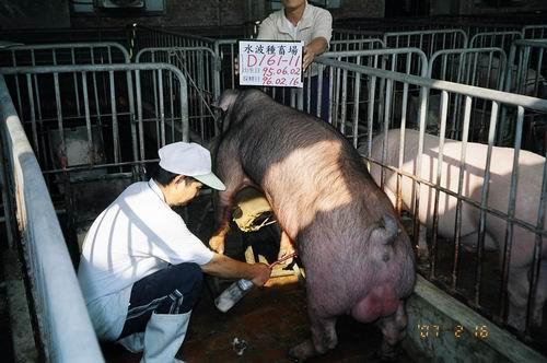 台灣種豬發展協會9602期D0161-11採精相片