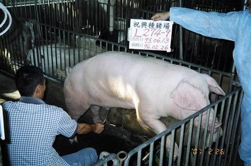 台灣種豬發展協會9602期L0274-09採精相片