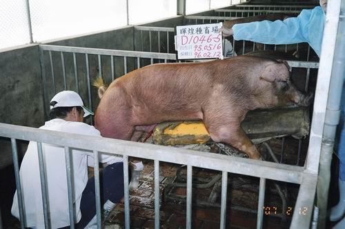 台灣種豬發展協會9602期D1046-05採精相片
