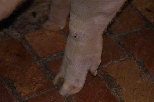 中央畜產會200609期Y0218-02體型-四肢相片
