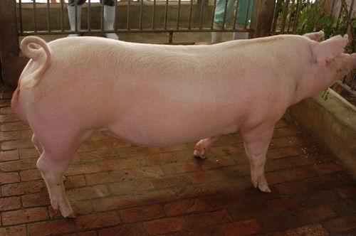 中央畜產會200609期L1385-17體型-全身相片