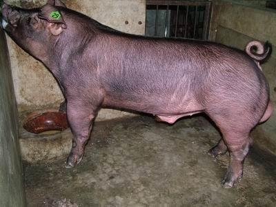 台灣動物科技研究所竹南檢定站9507期D0078-01種公豬拍賣相片